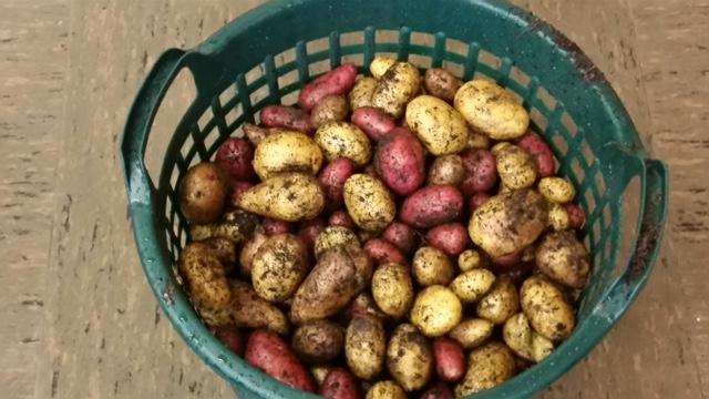 Kartoffelernte_2